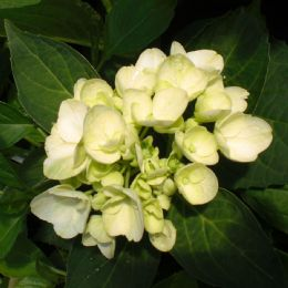 Hydrangea macrophylla Madame Emile Mouillere (H) AGM